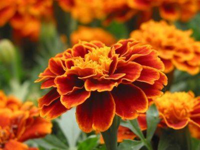 Можно ли выращивать бархатцы в домашних условиях?