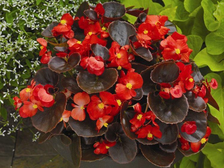 Бегония цветущая не цветет: как заставить, почему дает только листву, что делать, как ухаживать за комнатным растением в домашних условиях, чтобы были бутоны, фото