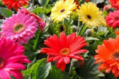 Герберы однолетние или многолетние растения