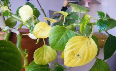 Бальзамин желтеют и опадают листья