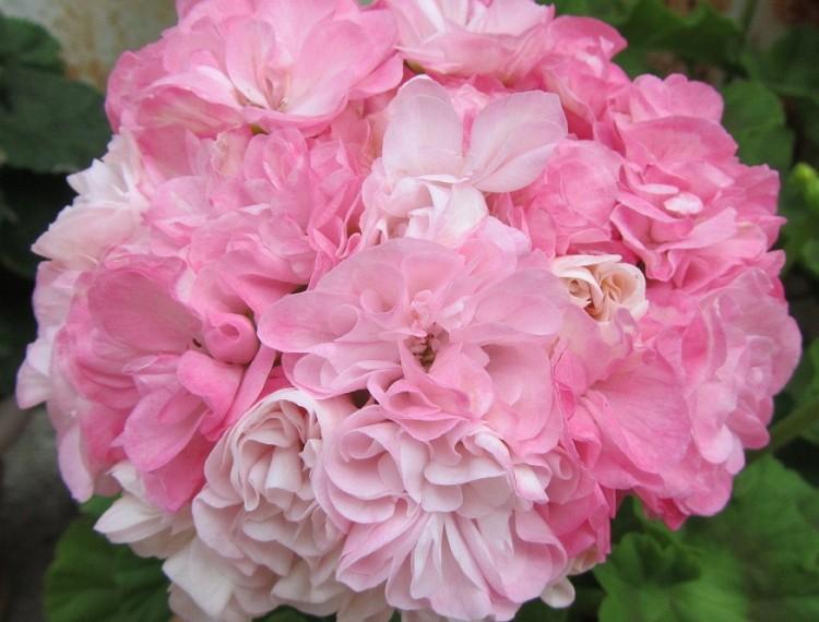Как ухаживать за пеларгонией розебудной