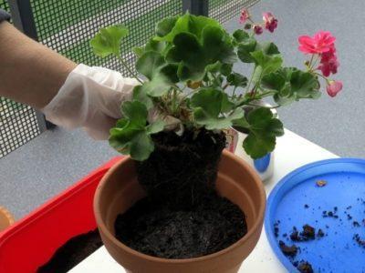 Родина герани из какой страны к нам пришел этот цветок Особенности происхождения растения