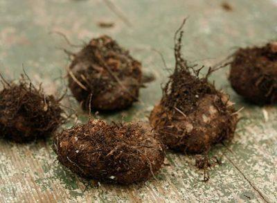 Что делать с клубневым растением при подготовке к зиме?
