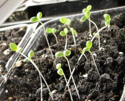 Можно ли выращивать анютины глазки дома на подоконнике?
