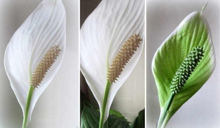 Как заставить цвести спатифиллум в домашних условиях