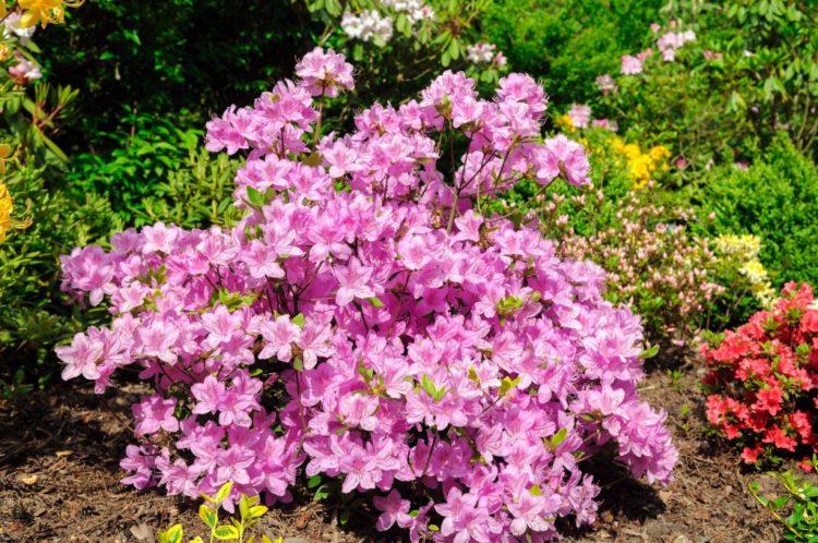 Азалия садовая - выбор места посадки подготовка почвы видео