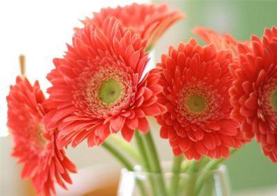 gerbery_v_vaze_1_09022941-400x284 Как сохранить герберы в вазе дольше
