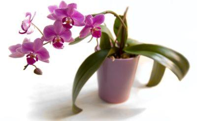 Как размножить орхидею черенками в домашних условиях