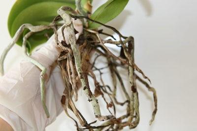 Как спасти, если корней не осталось?