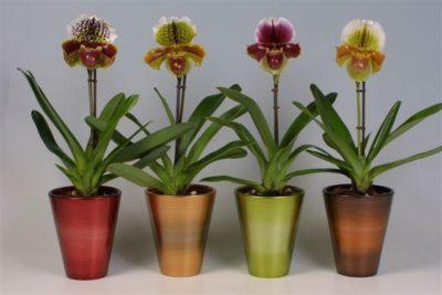 Сколько живут орхидеи в горшке?