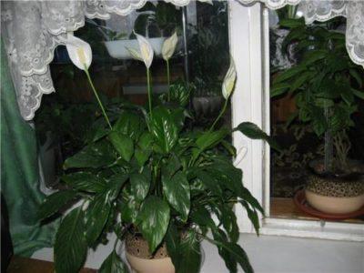 Как поливать цветок женское счастье в домашних? 161