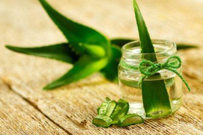 Каланхоэ – лечебные свойства и противопоказания, как использовать
