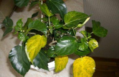 Почему у китайской розы скручиваются листья, опадают нераспустившиеся бутоны, она вянет после пересадки, а также другие болезни, их лечение и фото вредителей