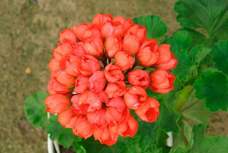 Тюльпановидная