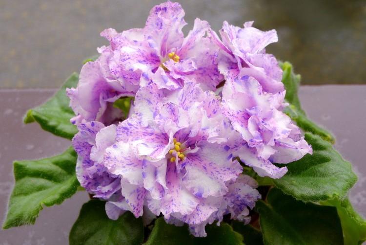Глоксинии — тидея, розовая, уход, фото глоксинии || Глоксиния тидея фиолетовая