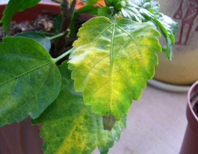 Почему у китайской розы опадают листья и отваливаются нераспустившиеся бутоны и что делать, если растение их сбрасывает?