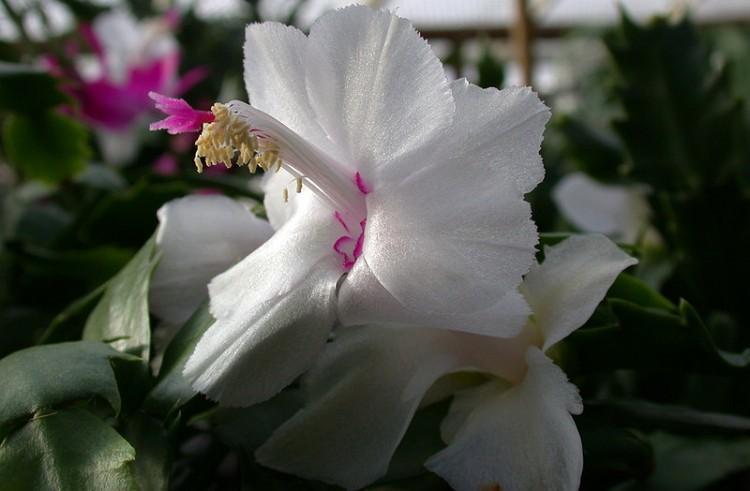 Цветок Декабрист - разновидности и правила выращивания