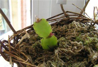 Декабрист цветок размножение в домашних 126