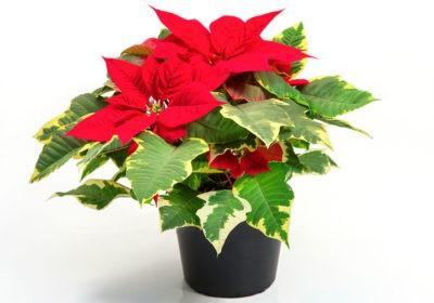 Цветок рождественская звезда как размножать