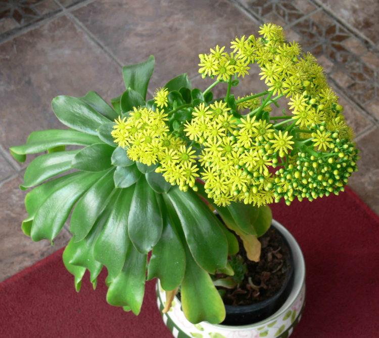 Эониум цветок