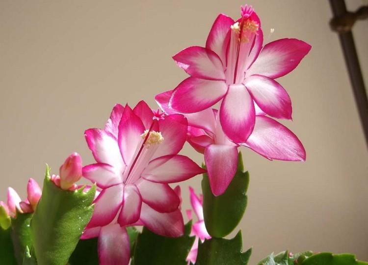 Виды декабристов- 35 разновидностей зигокактуса - названия, фото и описание популярных сортов шлюмбергеры самых разнообразных цветов