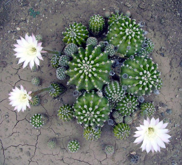 Кактус эхинопсис уход в домашних условиях и размножение детками Выращивание из семян Эхинопсис виды фото