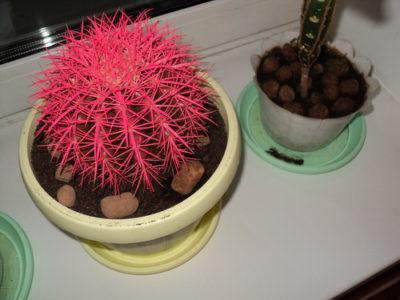Эхинокактус Грузони: как вырастить «золотой шар» в домашних условиях. Эхинокактус грузони уход в домашних условиях