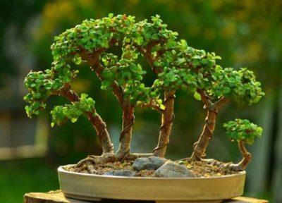 bonsay_iz_krasuly_1_06094642-400x288.jpg