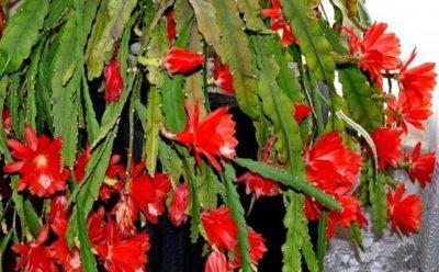 Эпифиллюм гибридный как заставить цвести