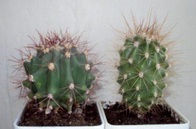 Как понять что кактус умирает