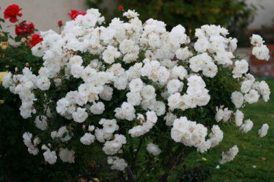 Роза Айсберг: фото и описание этого растения, отличие от других плетистых видов, основные правила ухода за цветком и особенности его размножения
