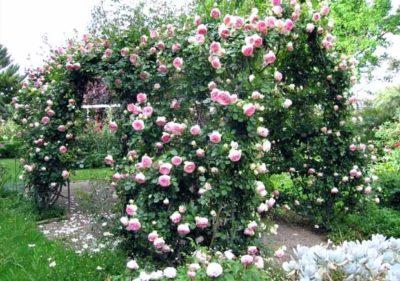 Опора для плетистой розы своими руками