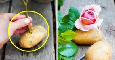Как посадить черенки роз в картофеле