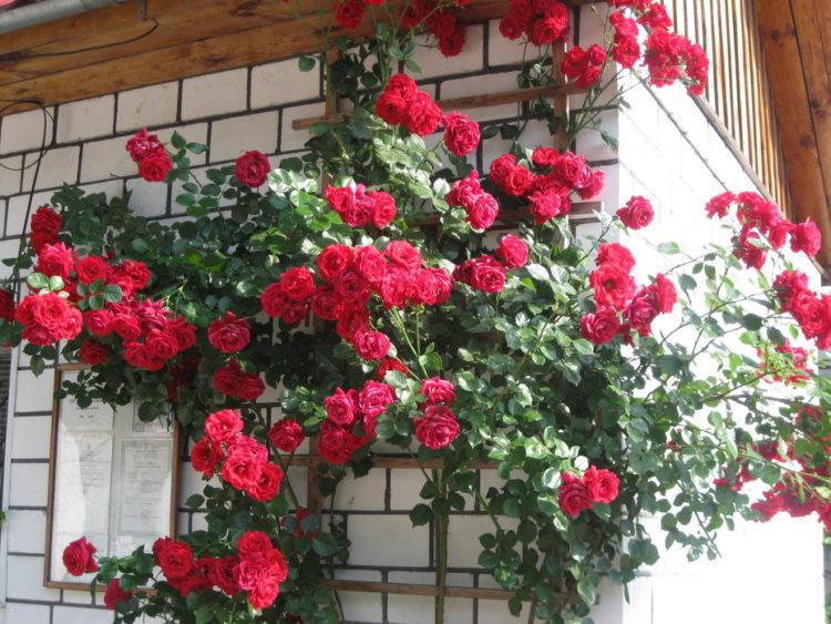 Роза плетистая Симпатия посадка и уход