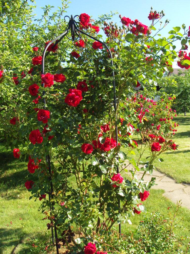 Роза Симпатия: описание, посадка и уход