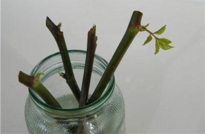 Как вырастить розу из черенка из букета в домашних условиях?