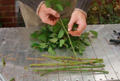 Как зимой сохранить черенки роз до весны