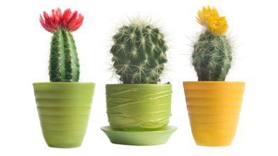 kaktus_v_gorshke_2_26034231-400x225.jpg
