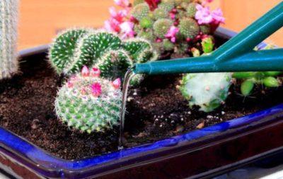 Кактус: как размножать растения в домашних условиях