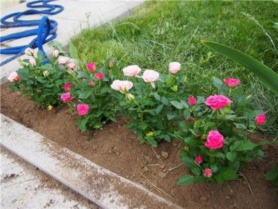 Как посадить китайскую розу семенами
