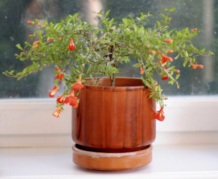 Гранатовое дерево: как посадить и вырастить гранат в домашних условиях