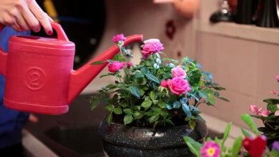 Желтеют листья у комнатной розы причины