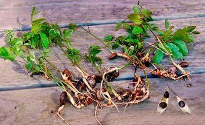 Как посадить глицинию семенами