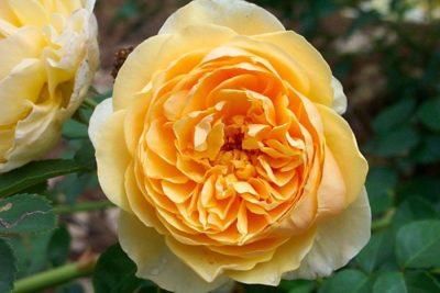 Роза Голден Селебрейшен (Golden Celebration): фото, отзывы, описание, характеристики.