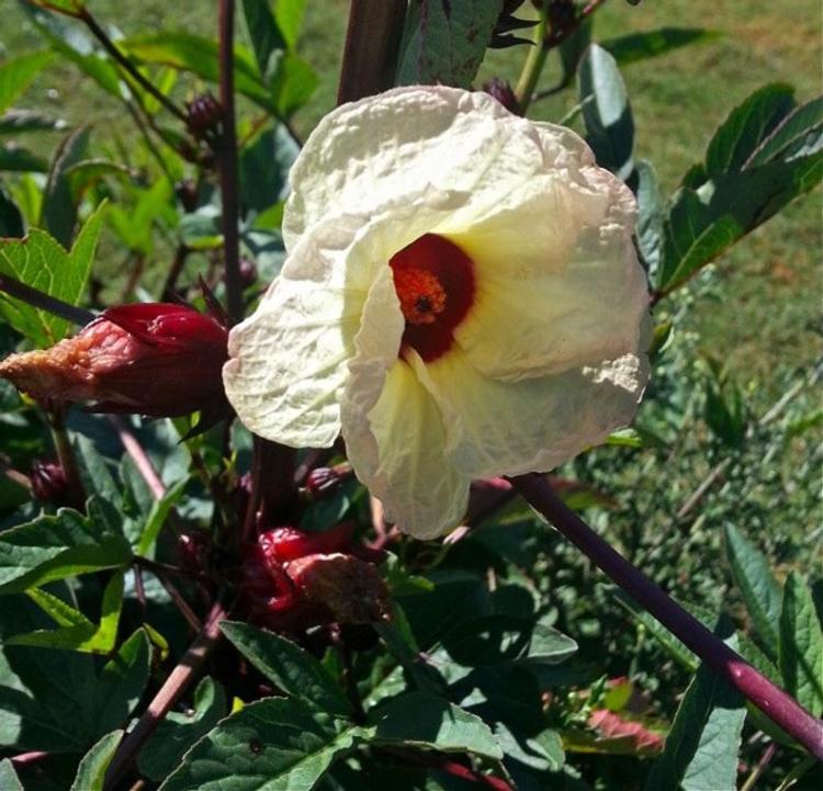 Гибискус и суданская роза одно и тоже